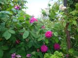 DSC08778 Rose de Resht.JPG
