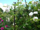 DSC08779 Rose de Resht, Mme Zoetmans.JPG