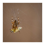 Spider with shield bug