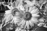 Sunflower, Hood River, OR