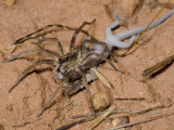 Spider vs. Gecko
