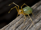 Thomisidae, green ant mimic, Amyciaea albomaculata
