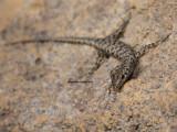 Agile Snake-eyed Skink, Cryptoblepharus zoticus