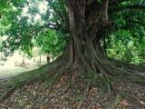 Magnifique figuier étrangleur de Martinique
