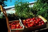 Les tomates miraculeuses de Anne, automne 2016