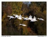 Oies des neigesSnow Geese