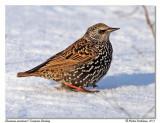 Étourneau sansonnetEuropean Starling