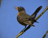 _DSC1151pb.jpg  The American Robin