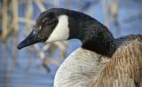 _DSC1247.jpg The Canada Goose