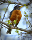 _DSC1332pb.jpg Lots of Robins in the Country Side