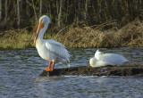 _DSC1615pb.jpg American White Pelican