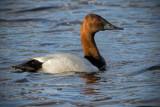_DSC1610pb.jpg  Canvasback Duck