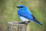 _DSC1807pb.jpg Mountain Bluebird
