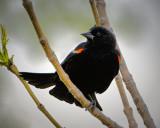 _DSC2021pb.jpg 'Redwing Blackbird