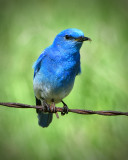 _DSC2157pb.jpgMale Blue Bird