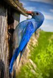 Bluebirds 2013