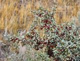_SDP6858pb.jpg  What Is This Bush?    Pyracantha, Red firethorn