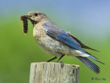 Bluebirds 2014