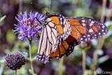 Shipley Nature Center Butterfly 9-30-13 (6).jpg