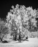 Infrared CM-12-31-13 (7) Tree.jpg