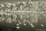 Infrared MS Park 1-15-14 (16) Geese.jpg