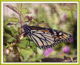 Butterfly 3-15 (2) TX Frame.jpg