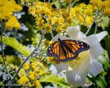 Butterfly yellow flowers HB 6-16 12.jpg