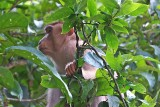 Pig Tailed Macaque...