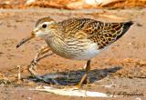 Shorebirds--peep