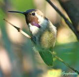 Unusual Costa's  Hummingbird
