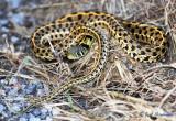 Checkered Garter Snake (Thamnophis marcianus)