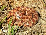 Plains Hognose Snake (Heterodon nasicus)