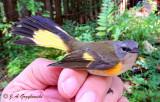 American Redstart--imm. male