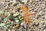 Orange-winged groundling
