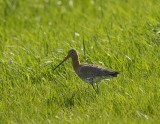 Grutto / Black-tailed Godwit / Heerde