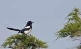 Ekster / Eurasian Magpie (Katwijk)