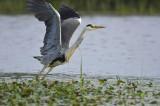 Blauwe Reiger / Grey Heron (Wassenaar)
