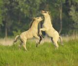 Konikpaard / Konikhorse