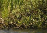 Oeverloper / Common Sandpiper ( Zwanenwater Callantsoog)