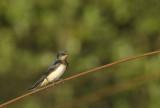 Boerenzwaluw / Barn Swallow (Zwanenwater Callantsoog)