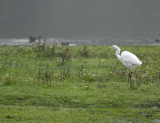 Grote Zilverreiger - Western Great Egret (OVP)