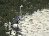 Blauwe Reiger - Grey Heron (OVP)