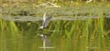 Zwarte Stern / Black Tern (de Ooypolder)