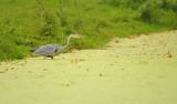 Blauwe Reiger / Grey Heron (Santpoort-AWD)