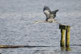 Blauwe Reiger / Grey Heron (de Starrevaart