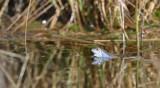 Heikikker / Frog (Engbertsdijksvenen)