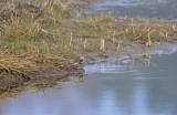 Watersnip / Common Snipe (Oelemars)