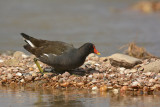 Waterhoen / Common Moorhen