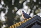 Houtduif / Common Wood Pigeon (Steenwijk)