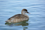 Krooneend / Red Crested Pochard